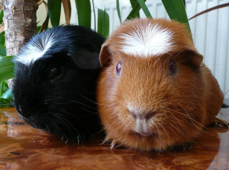Crested guinea pig - photo#11